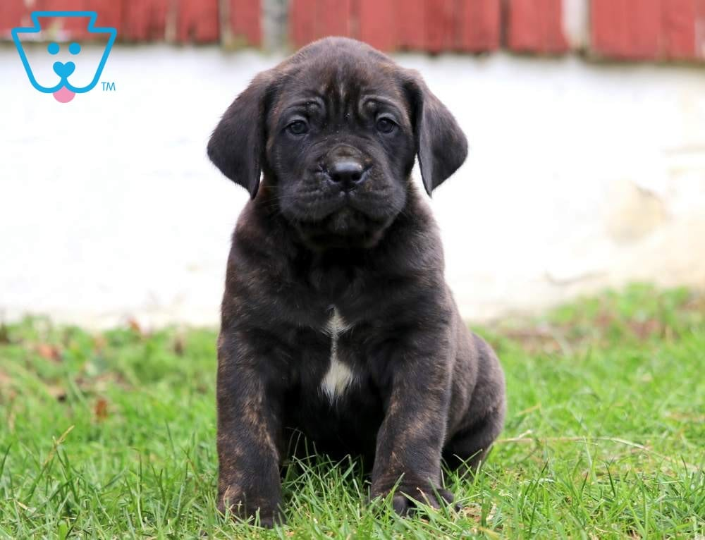 Dylan | Cane Corso Puppy For Sale | Keystone Puppies