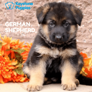 german-shepherd-healthy-responsibly-bred-Pennsylvania