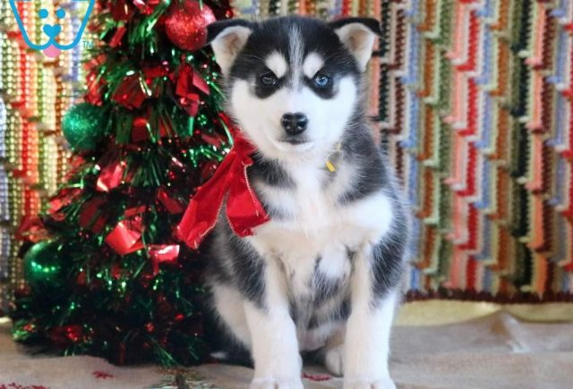 Hope2-Siberian-Husky-Working-Dog-Breed-AKC