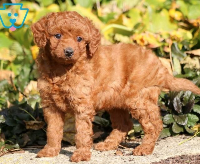 Lady Goldendoodle Toy Puppy For Sale Keystone Puppies