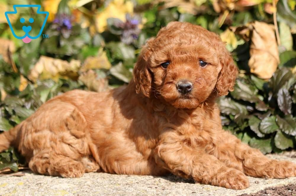 Lexi Goldendoodle Toy Puppy For Sale Keystone Puppies