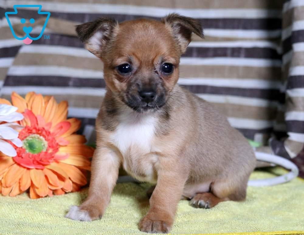 chihuahua mix breeds mac chihuahua mix puppy for sale keystone puppies 9426