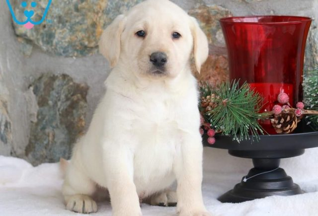 Max-Labrador-Retriever-Sporting-Dog-Breed-AKC-Yellow