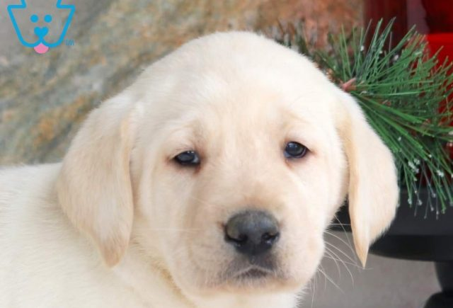 Max2-Labrador-Retriever-Sporting-Dog-Breed-AKC-Yellow