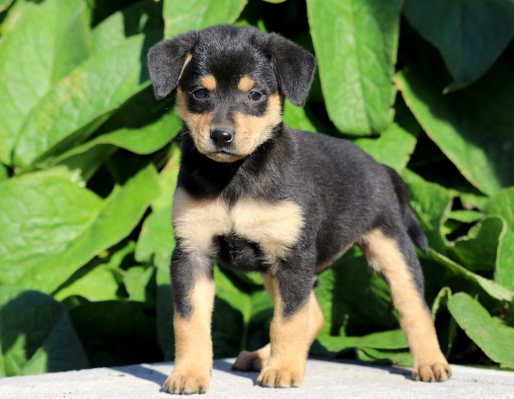 Miniature Pinscher Mix Puppies For