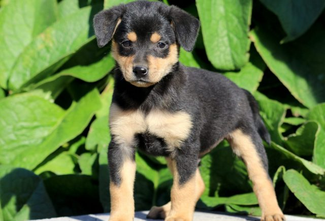 Min Pin Mix Category