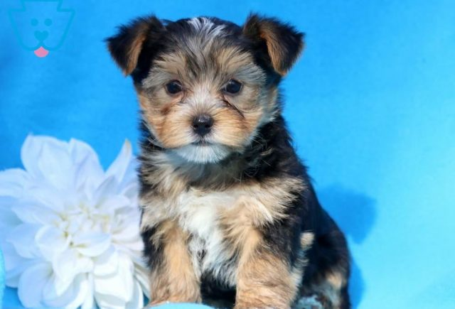 Morkie Category