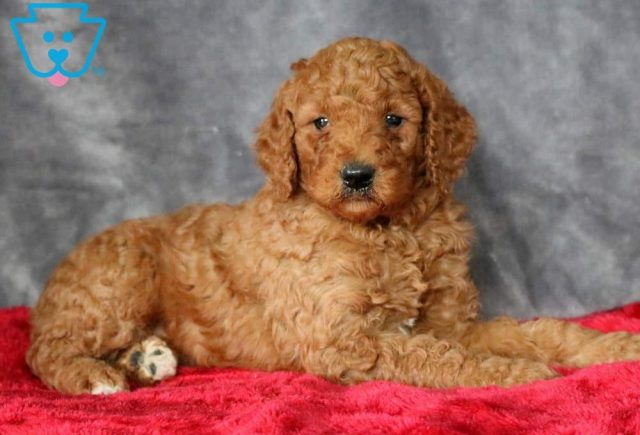 Nemo-Poodle-Standard-Non-Sporting-AKC-Dog-Breed