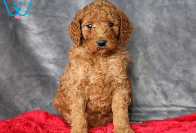 Nora-Poodle-Standard-Non-Sporting-AKC-Dog-Breed