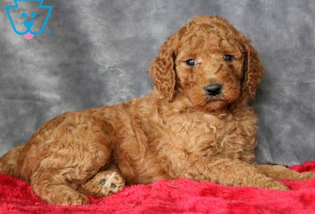 Nora2-Poodle-Standard-Non-Sporting-AKC-Dog-Breed