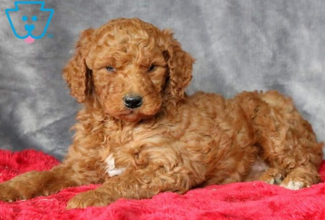 Nugget-Poodle-Standard-Non-Sporting-AKC-Dog-Breed