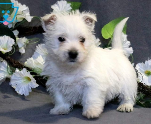 Panther West Highland Terrier Puppy For Sale Keystone Puppies