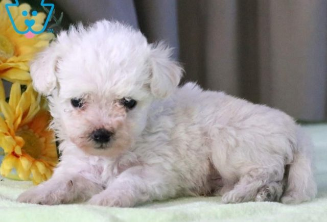 Parker-Bichon-Frise-Non-Sporting-Dog-Breed-AKC
