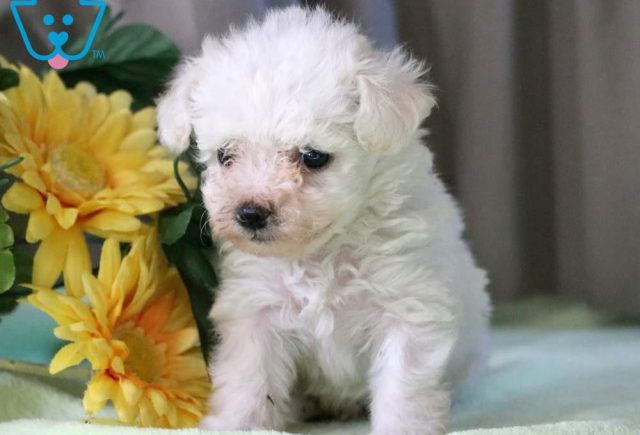 Parker2-Bichon-Frise-Non-Sporting-Dog-Breed-AKC