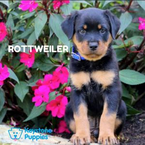 rottweiler-healthy-responsibly-bred-Pennsylvania
