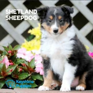 shetland-sheepdog-healthy-responsibly-bred-Pennsylvania