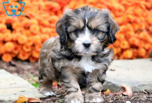Shih Tzu Mix Category