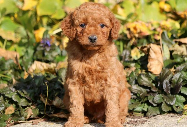 Toy Goldendoodle Category