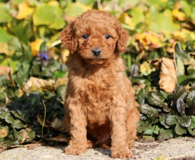 Goldendoodle - Toy