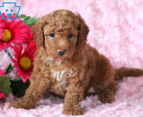 Labradoodle - Toy