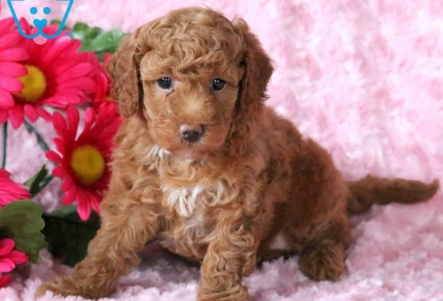 Toy Labradoodle Category