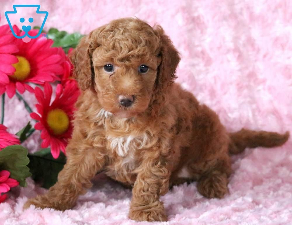 Labradoodle - Toy Puppies For Sale | Puppy Adoption
