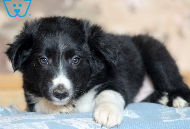 Trooper-Border-Collie-Herding-Dog-Breed-AKC