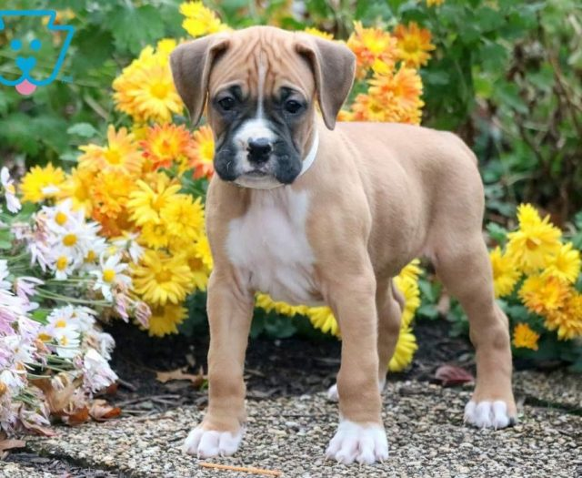Bandit Boxer Puppy For Sale Keystone Puppies