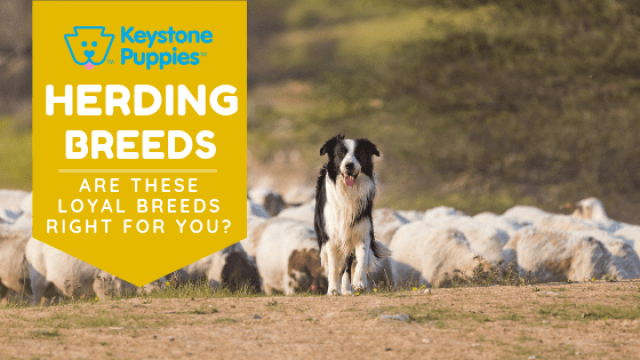 Herding Breeds – Are They Right for You?
