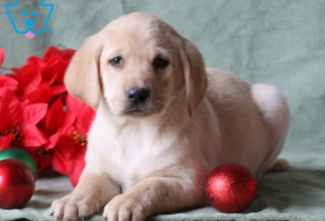 Abe2-Labrador-Retriever-Sporting-Dog-Breed-AKC-Yellow