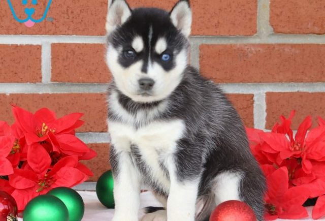 Ace2-Siberian-Husky-Working-Dog-Breed-AKC
