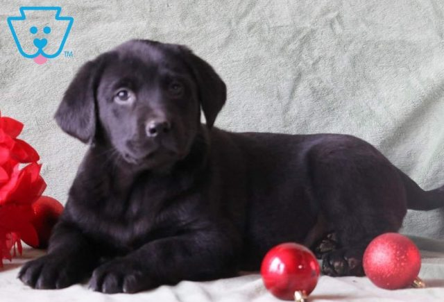Archie2-Labrador-Retriever-Sporting-Dog-Breed-AKC-Black