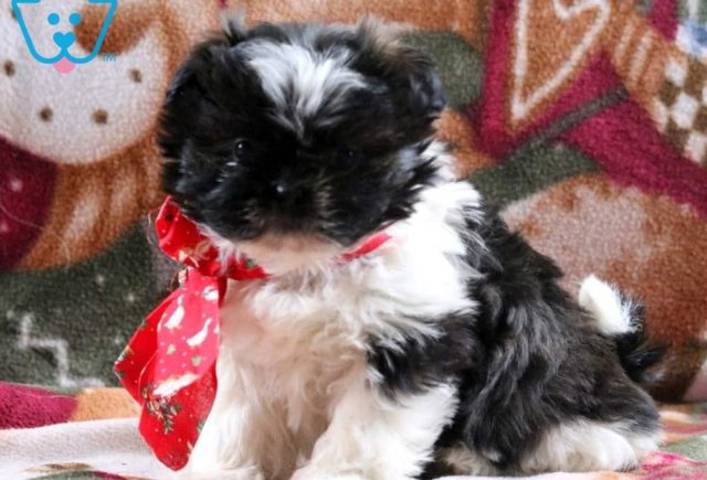Baby-Doll-Shih-Tzu-Mixed-Breed-Dog