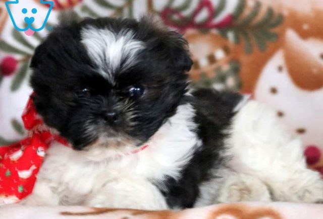 Baby-Doll2-Shih-Tzu-Mixed-Breed-Dog