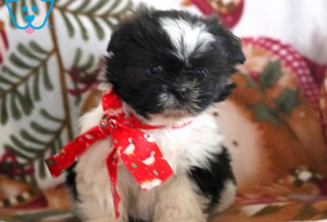 Baby-Doll3-Shih-Tzu-Mixed-Breed-Dog