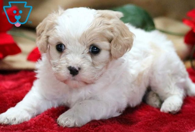 Bentley Cavachon 1