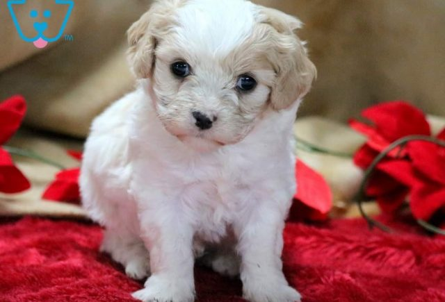 Bentley Cavachon 2