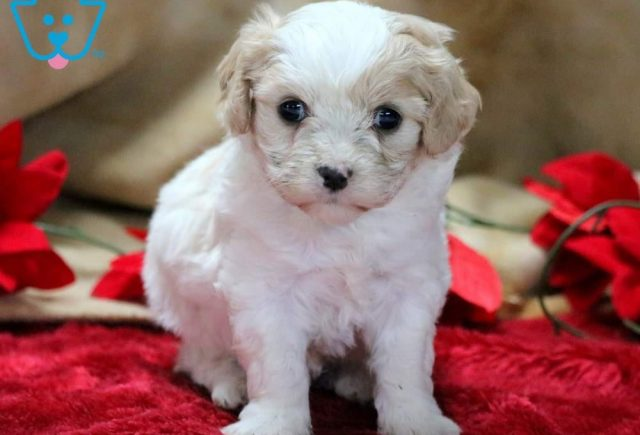 Bentley Cavachon 3