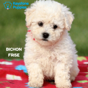 Bichon-Frise-healthy-responsibly-bred-Pennsylvania