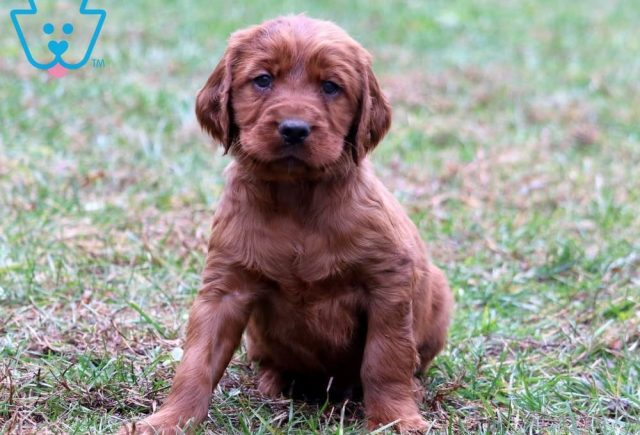 Biscuit-Irish-Setter-Sporting-Dog-Breed-AKC