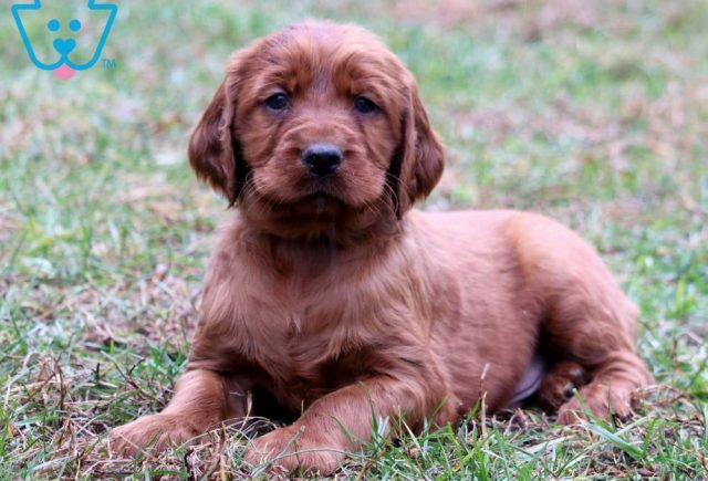 Biscuit2-Irish-Setter-Sporting-Dog-Breed-AKC