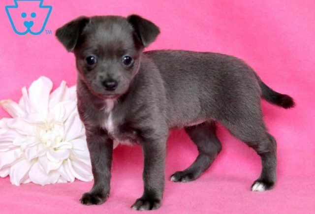 Blossom-Chihuahua-Toy-Dog-Breed-AKC