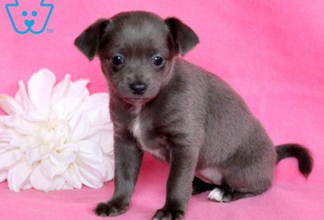 Blossom2-Chihuahua-Toy-Dog-Breed-AKC