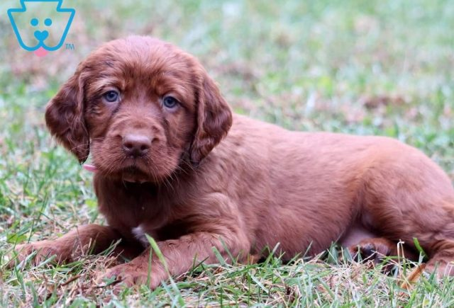 Blossom2-Irish-Setter-Sporting-Dog-Breed-AKC