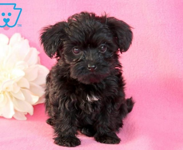 Yorkiepoo Puppies For Sale Puppy Adoption Keystone Puppies