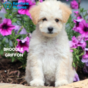 Broodle-Griffon-healthy-responsibly-bred-Pennsylvania