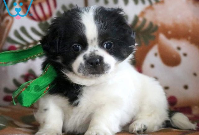 Bubbles-Shih-Tzu-Mixed-Breed-Dog