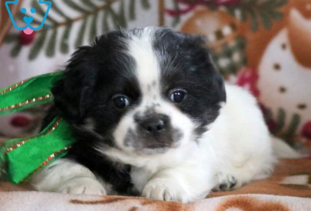 Bubbles2-Shih-Tzu-Mixed-Breed-Dog