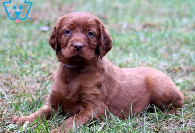 Buttercup2-Irish-Setter-Sporting-Dog-Breed-AKC
