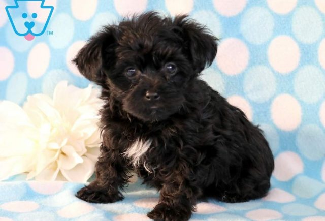 Buttons-Yorkiepoo-Designer-Breed-Dog-Yorkie-Poodle-ACHC-IDCR-ICA